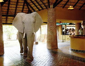 An elephant strolls through the reception area at Mfuwe lodge
