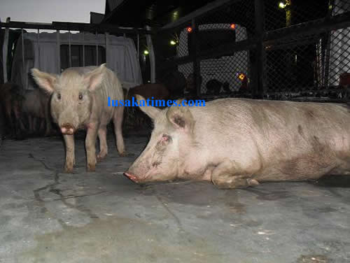 Pigs at Lusaka Intercity Bus Terminal