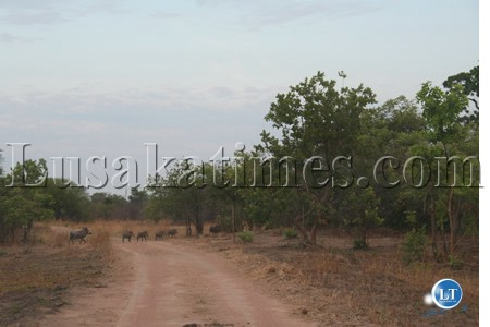 The bush pigs of Kafue National Park