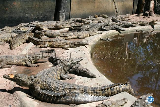 Some of the Crocodiles a Crocodile farm in Mubumbu Area in Mongu
