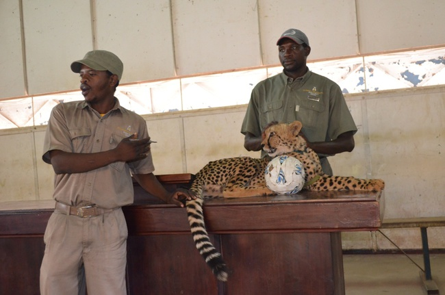 Mukuni Big 5 Safaris tour guides display a cheetah to Livingstone's Linda High School pupils (not in picture) on Wednesday afternoon