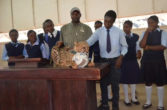 A brave  pupil strokes the cheetah