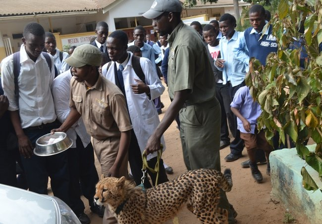 Mukuni Big 5 Safaris tour guides lead a cheetah to the van at Livingstone's Linda High School on Wednesday afternoon as pupils watch