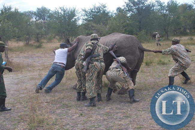ZAWA Officers releasing the Rhino in the wild after treating it