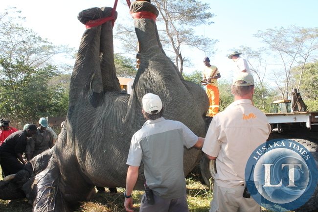 A combined team of the Zambia Wildlife Authority (ZAWA), Game Rangers International (IFAW) and the International Fund for Animal welfare (IFAW) have successfully captured the elephant which has been seen roaming around Nega Nega area and translocated to Kafue National Park (KNP).