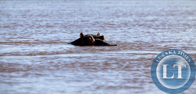 Hippo Lower Zambezi National park 9534