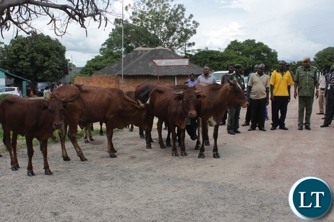 Some of the 14 recovered cattle after a police operation in Limulunga District