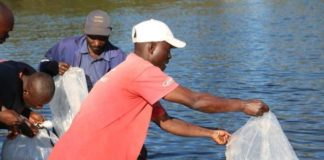 Fisherman releases fish fingerlings into the Kafue River during the KCM Fish Restocking Exercise in Chililabombwe