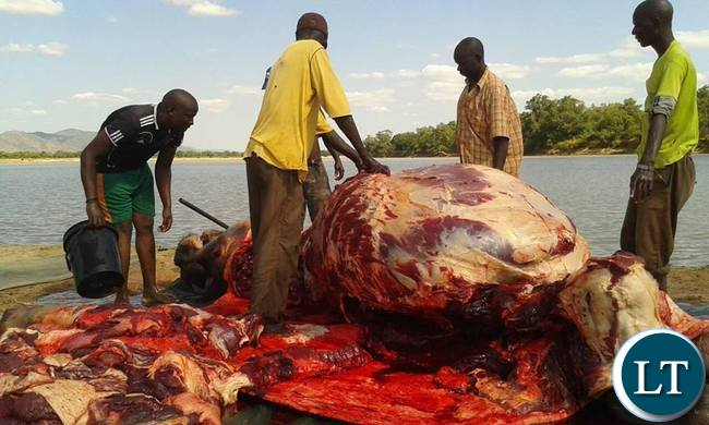 The great Zambian hippo slaughter of the Luangwa Pic-Kamisa Malipita