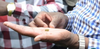 President Lungu checking on army worm during a tour of maize fields affected by the army worms in Kanfinsa area in Kitwe on Thursday, January 5,2016-Pictures by THOMAS NSAMA