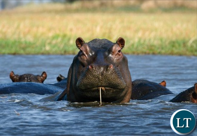 An outbreak of cutaneous anthrax in Zambia was linked to contact with the meat from hippos that had died from the bacterial illness.