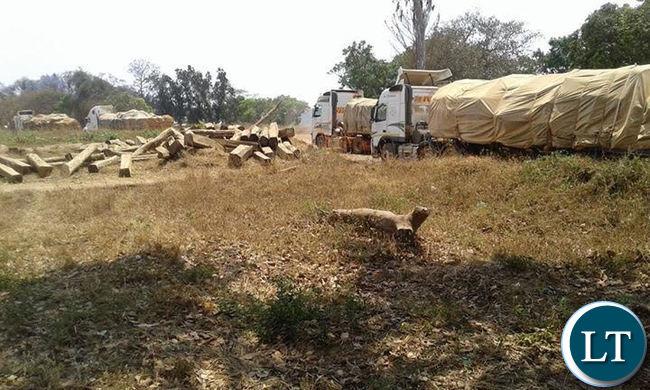 Impounded  trucks loaded with Mukula logs