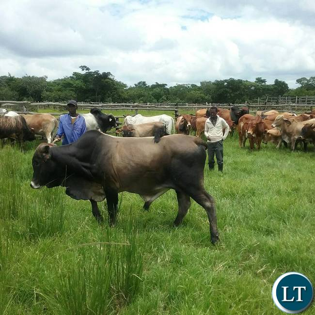 The breeding bulls the Ministry of Fisheries and Livestock are offering for sale to the general public at Chishinga Breeding Centre in Kawambwa to empower the interested farmers and organisations with good breeding stocks for improving their current heads. Picture courtesy by: Aston Nyungwe  - ZANIS KAWAMBWA