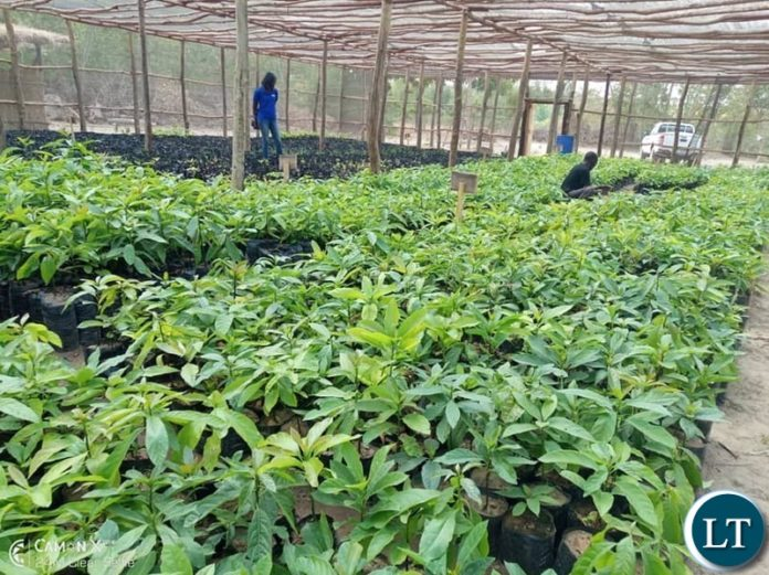 Part of the grafting of more than 20, 000 Avocado trees at a nursery in Zozwe area